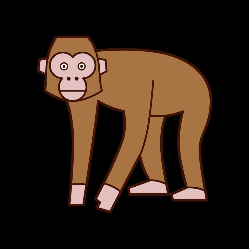 歩く猿のイラスト