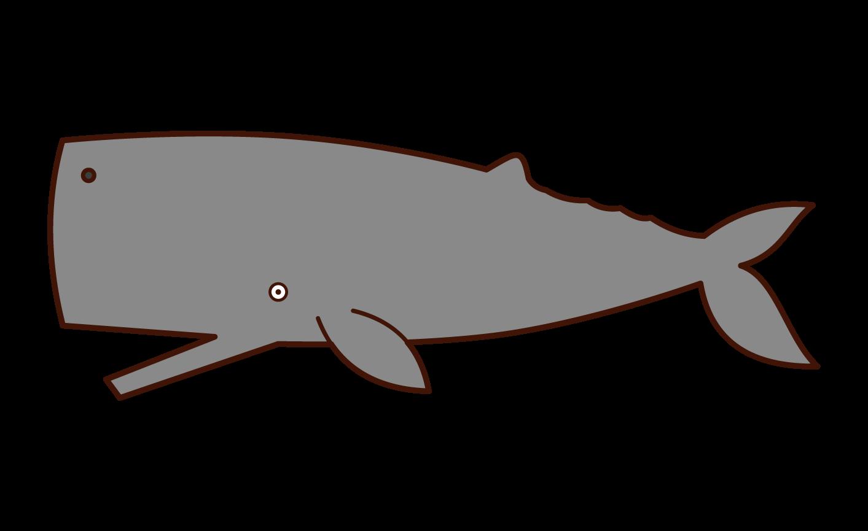 マッコウクジラのイラスト