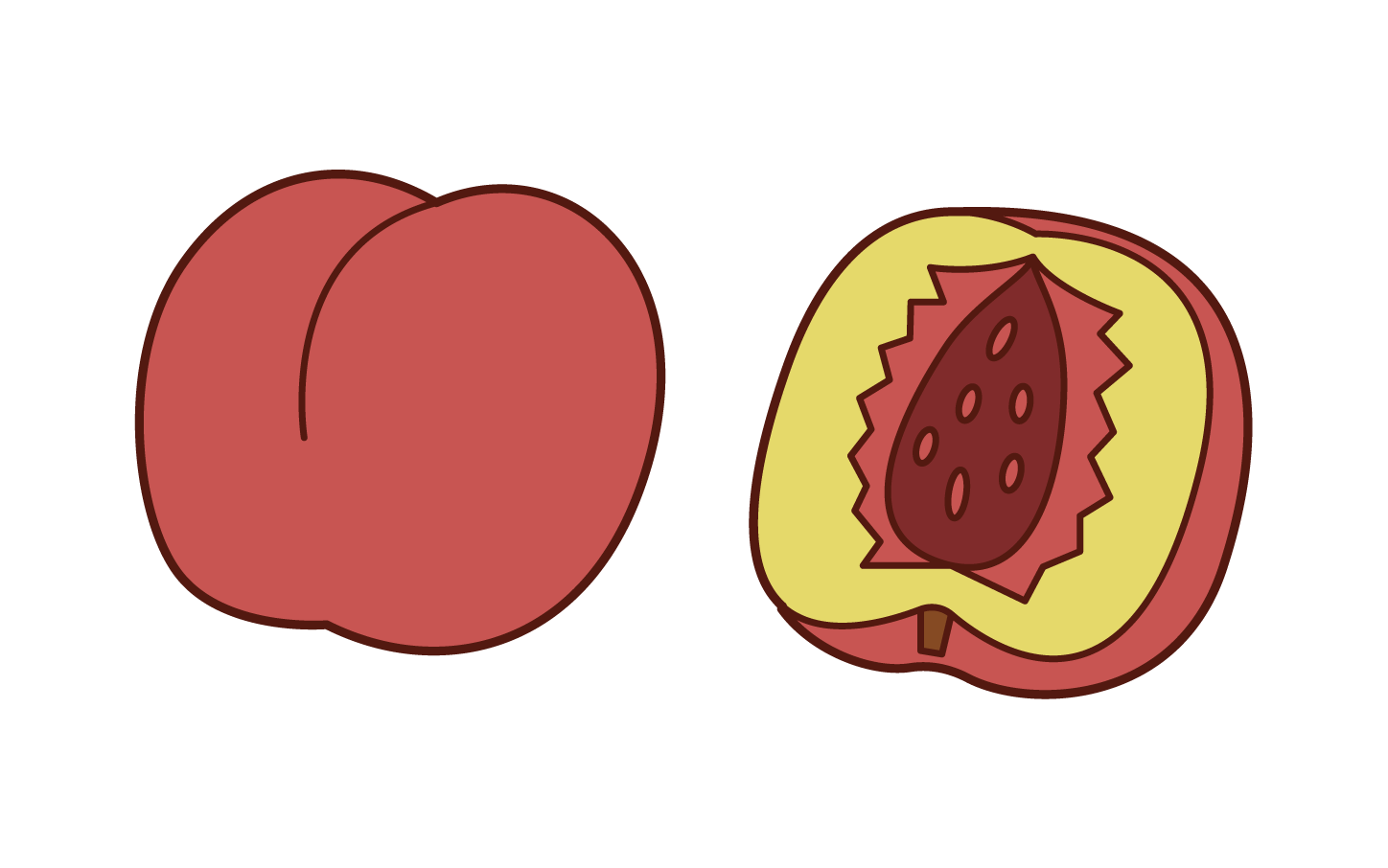 Illustration of nectarine