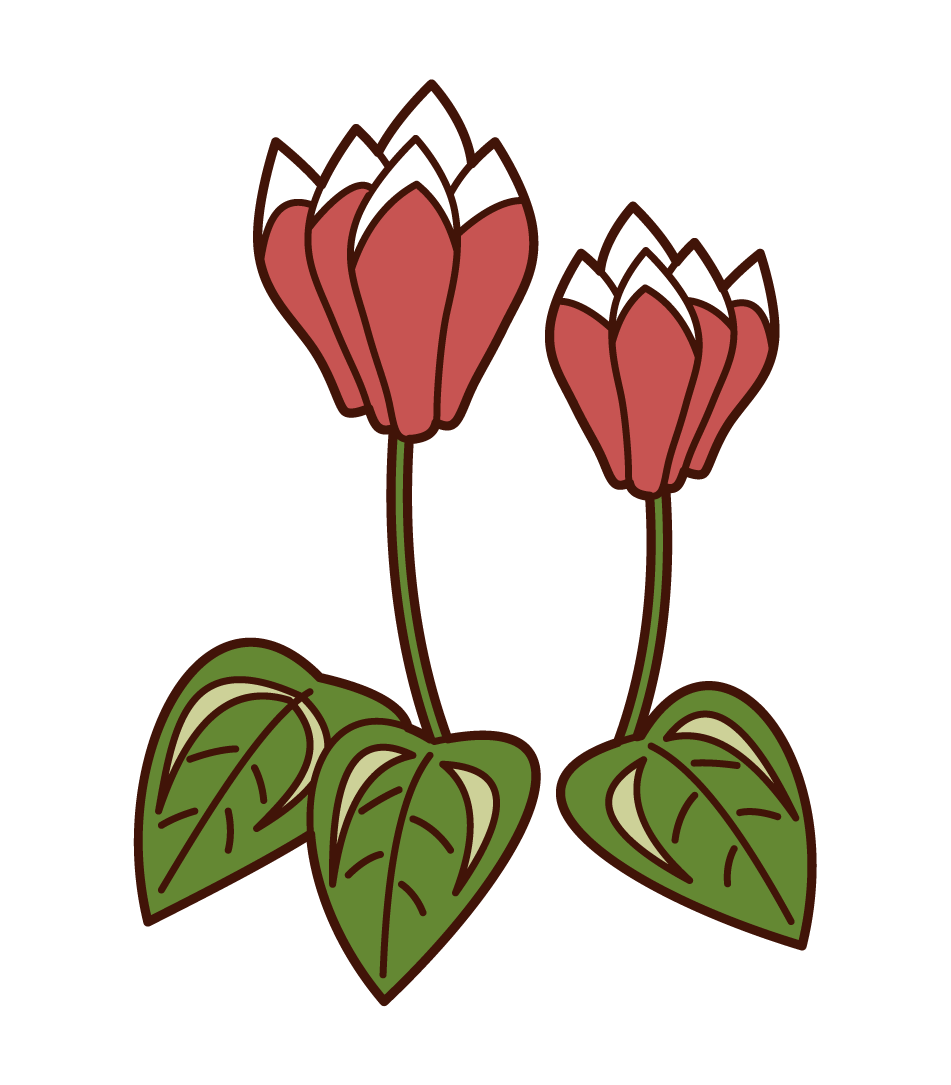Cyclamen Illustrations
