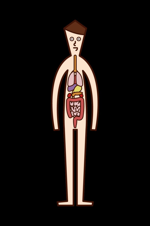 Illustration of human body and internal organs (man)