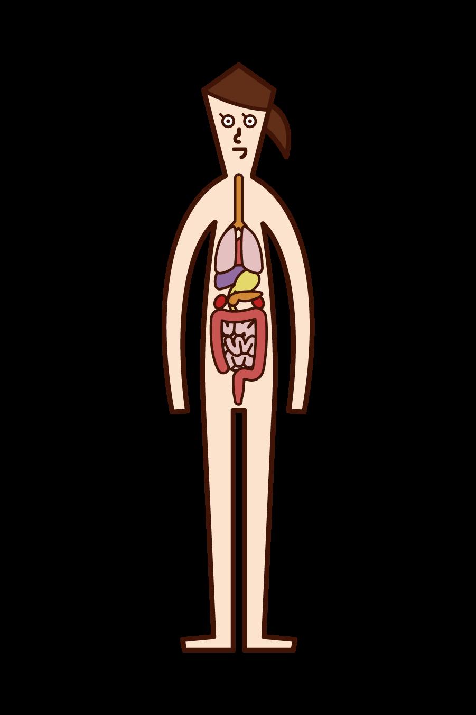 인체와 내장 (여성) 일러스트