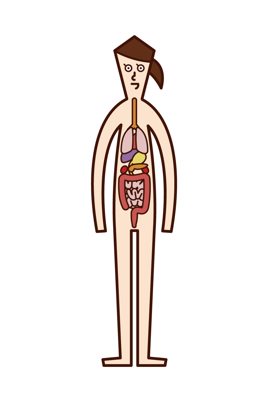 Illustration of human body and internal organs (woman)